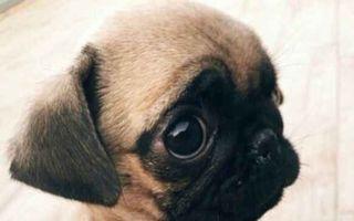 Câinii din rasa Pug pot cuceri inima oricui! 25 de fotografii adorabile