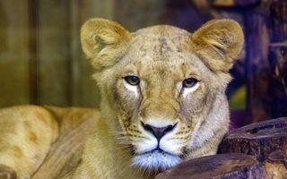 """Leul salvat de nevastă: Momentul în care leoaica îl scapă pe """"Regele Junglei"""" din mijlocul hienelor - VIDEO"""