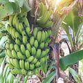 Bananele sunt pe cale de dispariție