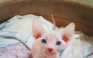 Pisicile fără păr sunt uimitoare: 20 de fotografii care o dovedesc