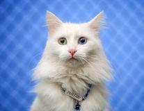 """""""Prințesele"""" albe: Turcia, țara pisicilor Van"""