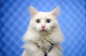 pisica Van