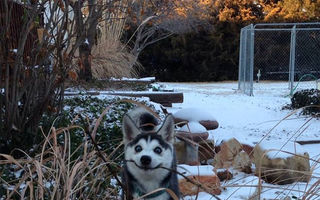 Câinii Husky sunt adorabili: 40 de imagini amuzante