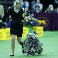 Orgolii, pasiune și muncă asiduă: Cei mai frumoși câini de la concursul Westminster Kennel Club
