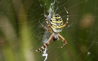 Dacă toți păianjenii ar lucra împreună, ar putea mânca toți oamenii într-un an
