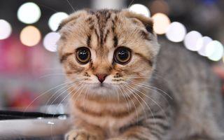 Campionatul pisicilor: 32 de imagini de la concursul celor mai interesante pisici de rasă din Rusia
