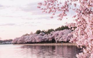 Frumusețea incredibilă a florilor de cireș. 30 de imagini