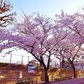 Viața în roz: 10 imagini cu cireșii din Tokyo, vestitorii primăverii