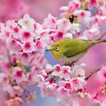 Frumusețea cireșilor înfloriți din Japonia: 18 imagini splendide cu fenomenul sakura