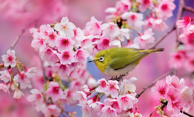cireși sakura