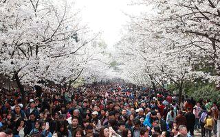Vestitorii primăverii: Cireșii înfloriți fac spectacol și în China