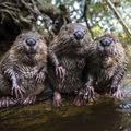Bună ziua, domnule castor! 30 de imagini cu adorabilele animale