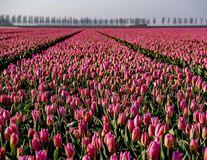 Au înnebunit lalelele! 10 imagini splendide cu câmpiile colorate din Olanda