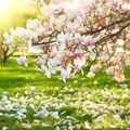 Cum să îngrijești o magnolie