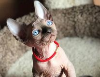 30 de imagini cu pisicuţe din rasa Sphynx care îţi vor schimba percepţia despre ele