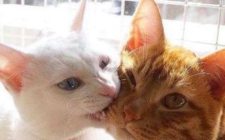 Iubire pătimaşă! 10 pisici mai afectuoase decât oamenii