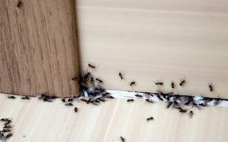 Cum să ții furnicile departe de bucătăria ta