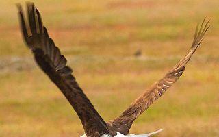 O luptă incredibilă: Un vultur şi o vulpe se bat pe un iepure