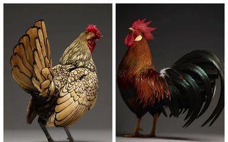 Cele mai frumoase găini din lume: Înaripatele care sunt prea prețioase pentru a ajunge în farfurie