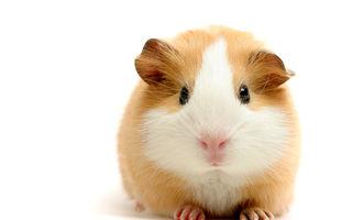 În Elveția a devenit ilegal să ai doar un porcușor de guinea pentru că se va simți singur
