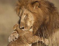 Spectacolul naturii: 12 imagini impresionante în care se vede cine e regele junglei