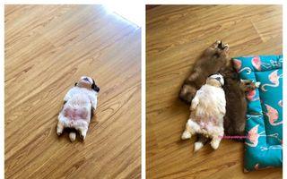 Căţeluşa adormită a rămas fără baterie: 20 de imagini la care n-ai cum să nu râzi