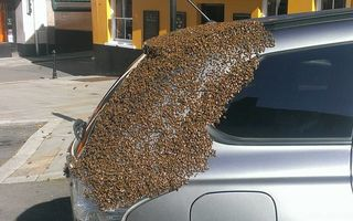 Curiozitățile naturii: 20.000 de albine au urmărit timp de două zile o mașină ca să-și salveze regina - VIDEO