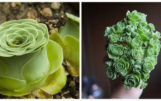 Par rupte din poveşti: 10 plante suculente în formă de trandafir