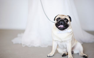 Cum să-ți antrenezi câinele pentru a te însoți pe drumul spre altar