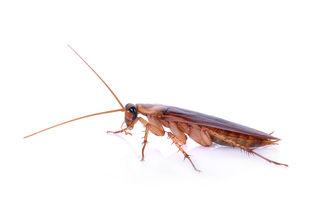 """Gândacii de bucătărie evoluează rapid și devin """"aproape imposibil"""" de ucis, spun cercetătorii"""
