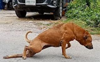 Cel mai deștept câine: Se preface că are piciorul rupt ca să primească mâncare - VIDEO