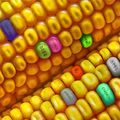 """Ce sunt organismele modificate genetic. Care sunt cele mai """"prelucrate"""" produse"""