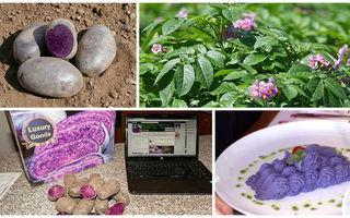 Cultivarea cartofilor mov, una dintre cele mai profitabile afaceri agricole din România