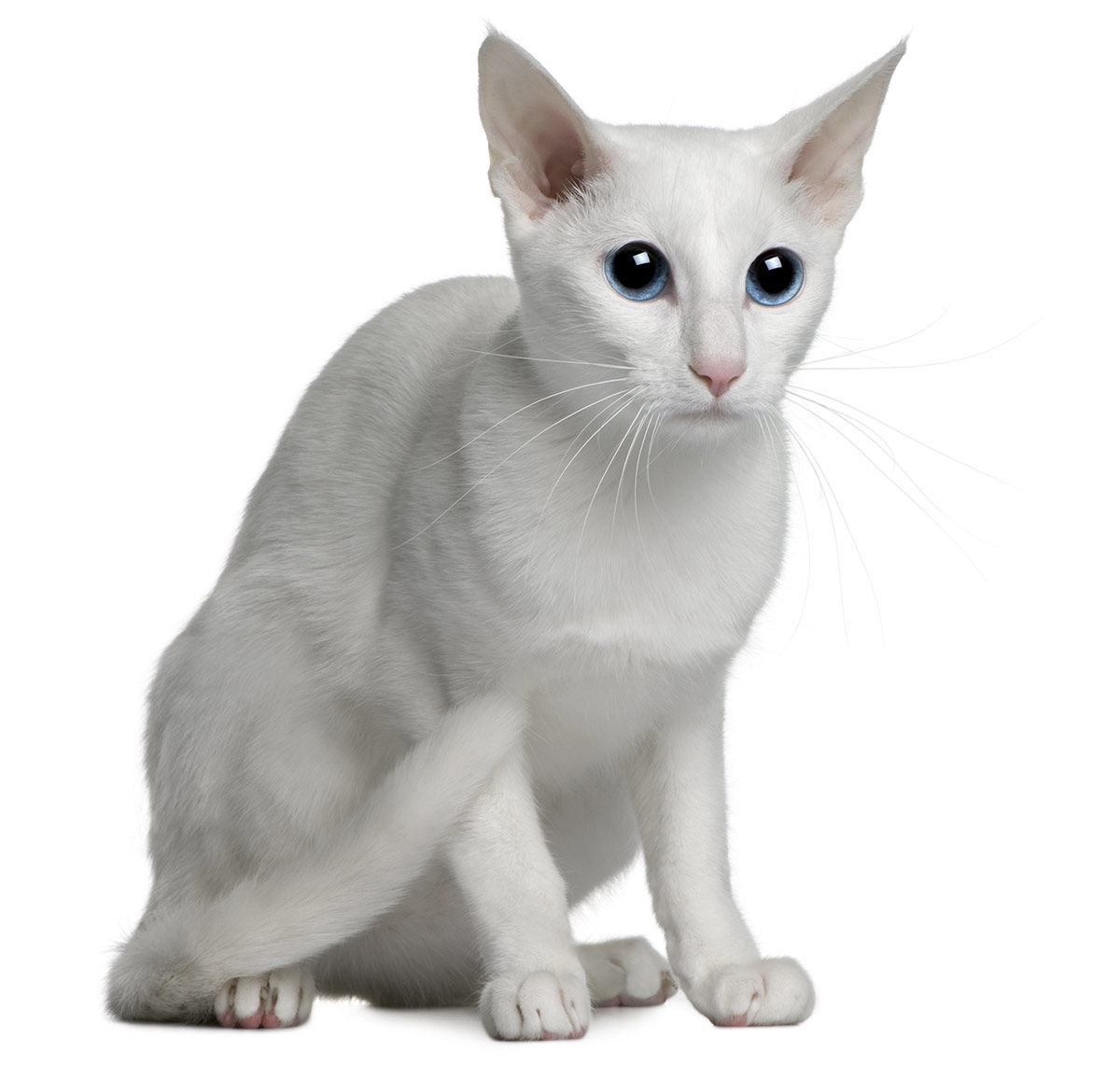 Rasa Orientala pisica