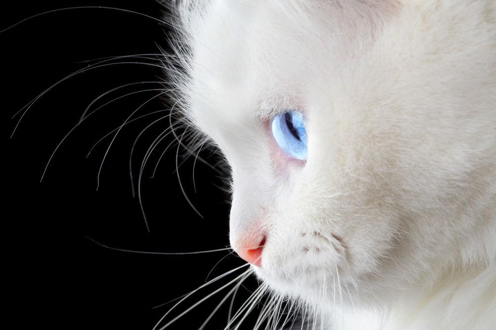 Rase de pisici albe