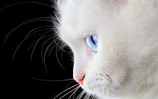 9 rase de pisici albe: pufoase ca neaua, ideale ca animale de companie
