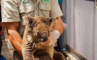 Eroii ursuleților koala: Doi adolescenți au salvat cu mașina animalele înconjurate de incendiile din Australia