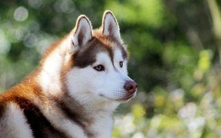 6 sfaturi pentru îngrijirea unui câine husky
