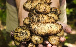 Când devin cartofii toxici: semnele care îți arată că trebuie să îi arunci! Nu îi mai consuma dacă vezi asta