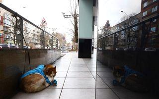 Noul Hachiko: Câinele Husky care își așteaptă în fiecare zi stăpâna să iasă de la serviciu