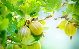 6 beneficii importante ale consumului de agrișe