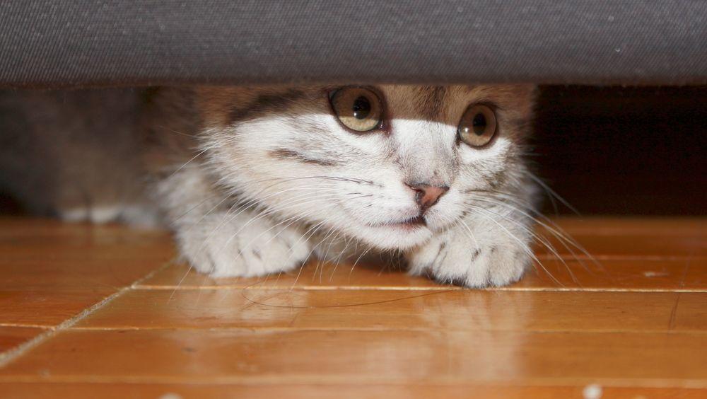Cum ai grija de o pisica timida