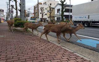 Natura pune stăpânire pe orașele pustiite de coronavirus: Animalele sălbatice acaparează străzile goale