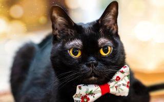 """Cornelius """"Pâine cu mălai"""", pisica neagră cu sprâncene albe"""