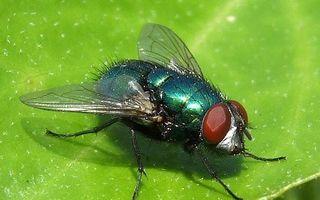 Soluții împotriva muștelor! Cu ingrediente naturale