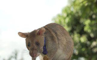 Un erou deosebit: Șobolanul Magawa a primit o medalie pentru că a salvat sute de vieți