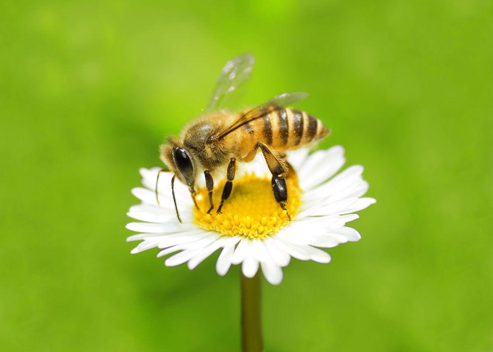 visezi albine