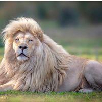 Cel mai frumos rege al junglei: Moya, leul alb cu o coama impresionanta care a cucerit Internetul