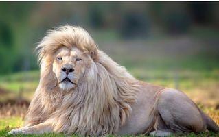 Cel mai frumos rege al junglei: Moya, leul alb cu o coamă impresionantă care a cucerit Internetul