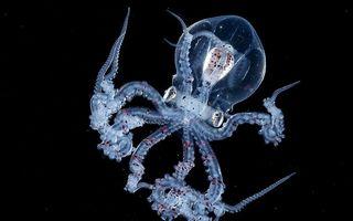 Caracatița cu capul transparent, creatura misterioasă descoperită în adâncul oceanului - FOTO